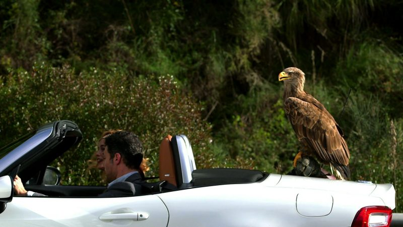 A white-tailed eagle sits on the back of a FIAT 124 Spider.